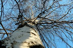 Trunk and branches of birch against the blue sky in winter royalty free stock photos