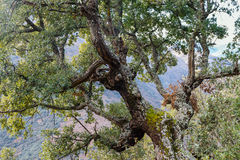 Trunk and branches with cork oak. Quercus suber. Royalty Free Stock Photography