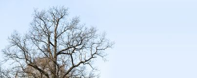 The trunk and branches of the old huge oak tree without leaves. Blue sky background, copy space Royalty Free Stock Images