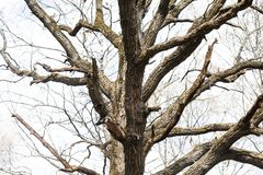 The trunk and branches of the old huge oak tree without leaves. Stock Photography