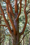 Trunk and  branches of pine Royalty Free Stock Photo