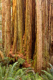 Trunk of California redwood tree among ferns Royalty Free Stock Image
