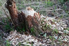 Trunk. Closeup beaver bitten tree trunk Royalty Free Stock Photo