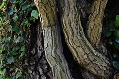 Trunk of common ivy Hedera Helix wrapped around  Austrian Oak tree Quercus Cerris Royalty Free Stock Photos