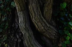 Trunk of common ivy Hedera Helix wrapped around  Austrian Oak tree Quercus Cerris Royalty Free Stock Images