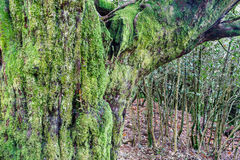 Trunk of Common Tagus covered with moss and oak. Taxus baccata. Forest The Tejedelo. Requejo of Sanabria, Zamora, Spain. Stock Photo
