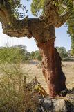Peeled cork oaks tree Stock Photography