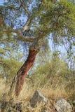 Peeled cork oaks tree Royalty Free Stock Image