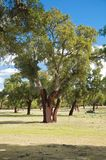 Trunk of cork trees Royalty Free Stock Images