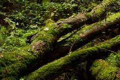 Trunk covered with moss. Picture of wild nature and what he can do with the trunk of the tree royalty free stock photo