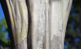 Trunk of the Crepe Myrtle tree. Image shows the trunk bark of the Crepe Myrtle tree (Lagerstroemia linnaeus). Location is in the retirement community Stock Image