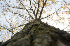 Trunk and crown of a Deciduous tree Stock Photography