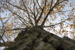Trunk and crown of a Deciduous tree Stock Images