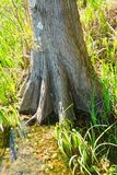 The trunk of a cypress tree. royalty free stock image