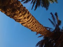 The trunk of a date palm tree of its branches on a background of blue sky view from below. The trunk of a date palm tree its branches against the blue sky on a Royalty Free Stock Photo