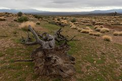 The trunk of a dead joshua tree lies on the ground pointing towards the Beaver Dam mountains in Southern Utah royalty free stock image