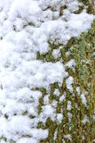 A trunk of a deciduous tree covered with fresh white snow. During wet snowfall, it often happens that white snow settles on tree trunks Royalty Free Stock Image