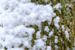 A trunk of a deciduous tree covered with fresh white snow. During wet snowfall, it often happens that white snow settles on tree trunks Stock Photo
