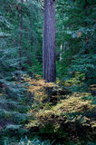 Trunk of Douglas Fir Stock Photo