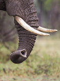 Trunk of an Elephant. The trunk and the tusks of an Elephant, Tanzania, East Africa royalty free stock images