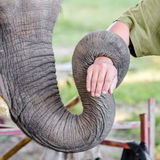 Trunk of elephant. Close up trunk of elephant strap hand Stock Image