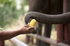 Trunk of elephant strap the corn Royalty Free Stock Photos