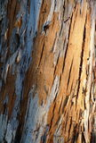 Trunk of an eucalyptus tree. Colorful pattern on a trunk of an eucalyptus tree Stock Photos