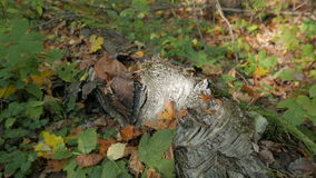 Trunk of a fallen birch tree in the autumn forest. stock video