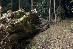 Trunk of a fallen huge old fig tree in a misty forest in Monteverde. Costa Rica. Trunk of a fallen huge old fig tree in a misty forest in Monteverde. Costa Rica stock images