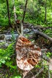 The trunk of a fallen tree fell across a stream in Altai, Russia.  stock image