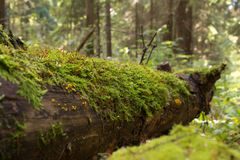 Trunk of a fallen tree in the forest Royalty Free Stock Photo