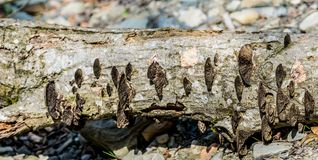 The trunk of a fallen tree with fungus. Wide background panorama stock photo