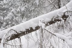 Trunk of fallen tree in winter forest with snow Royalty Free Stock Photo