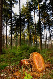 Trunk of a felled Douglas Fir Royalty Free Stock Image