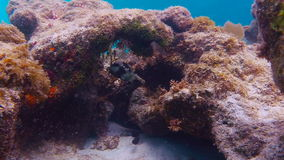 Trunk Fish Swimming Around Coral. A large trunk fish swims around a coral reef and then exits the scene through a hole in the rocks stock footage