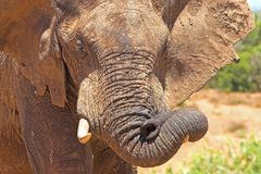 Trunk Fun. African Elephant playing with its flexible trunk Royalty Free Stock Images