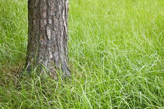 Trunk of a fur-tree in grass Royalty Free Stock Photography
