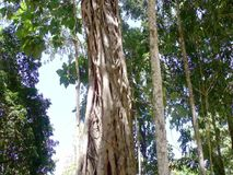 The trunk of a huge tropical tree . Palawan Island . Philippines stock video