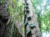 The trunk of a huge tropical tree . Palawan Island . stock footage