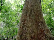 The trunk of a huge tropical tree . Palawan Island . Philippines stock video footage