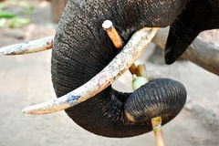 Trunk and ivory Royalty Free Stock Photography