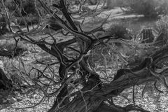 Trunk in Joshua Tree National Park Stock Photography
