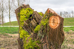Trunk of a just pruned willow tree overgrown with green moss Royalty Free Stock Photography
