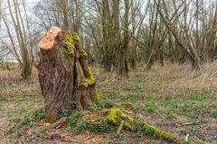 Trunk of a just pruned willow tree overgrown with green moss Stock Images