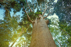 Trunk of kauri tree Agathis Robusta Royalty Free Stock Images