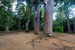 Trunk of kauri tree Agathis Robusta Royalty Free Stock Photos