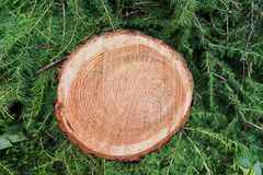 Trunk of a larch tree with a pattern of circles on a cut against the background. Of green branches Stock Images