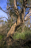Trunk and large branches of Haloxylon Stock Photography