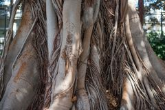 The trunk of a large Ficus tree. Selective focus stock images