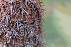 Trunk large old cactus tree Pereskia Pereskia grandifolia. Lignified trunk with sharp thick long spines. Copy space. Trunk large old cactus tree Pereskia Stock Image